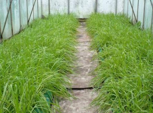 Горчица в теплице, как удобрение. Удобрение почвы в теплице сидератами осенью