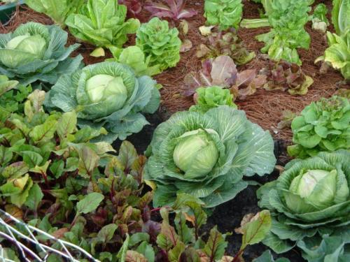 Сколько мороза выдерживает капуста. Когда рубить позднюю капусту – до или после заморозка?