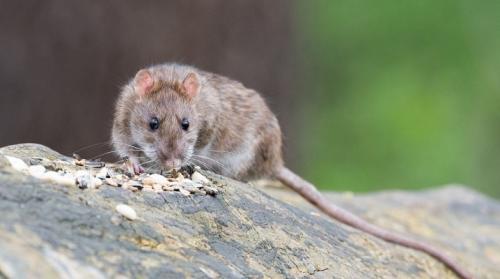 Как избавиться от мышей в огороде навсегда. Как избавиться от мышей и крыс на даче?