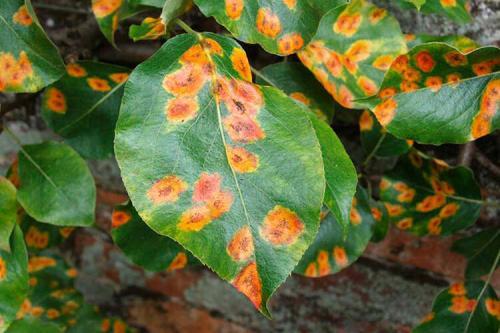 Оранжевые пятна на листьях груши болезнь и лечение. Ржавчина на листьях груши