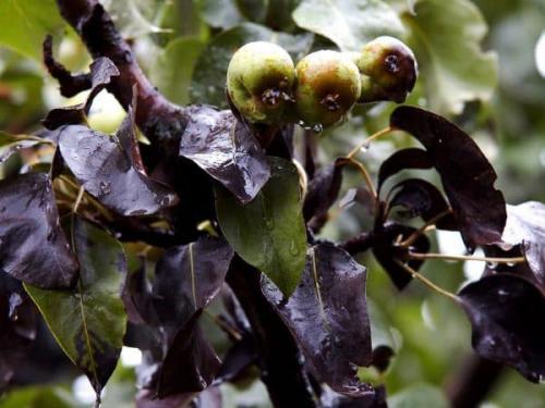 Чёрные точки на листьях груши, что это за болезнь и как с ней бороться. Болезни грушевых деревьев —, как лечить коричневые и черные пятна на листьях