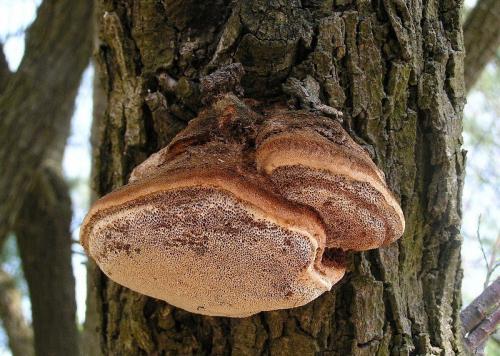 Виды грибов растущих на деревьях и пнях