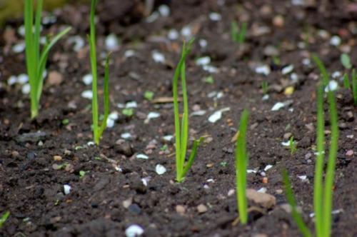 Сроки посадки озимого лука в 2019 году. Когда сажать лук под зиму? Сроки посадки по Лунному календарю 2020