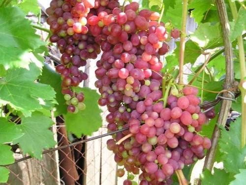 Технические сорта винограда для средней полосы. На что обратить внимание при выборе сорта для Нечерноземья 21