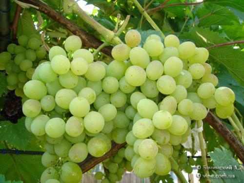 Технические сорта винограда для средней полосы. На что обратить внимание при выборе сорта для Нечерноземья 15