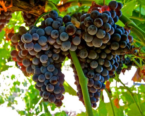 Сорта винограда для вина. ТОП-10 лучших в мире сортов винограда для виноделия.