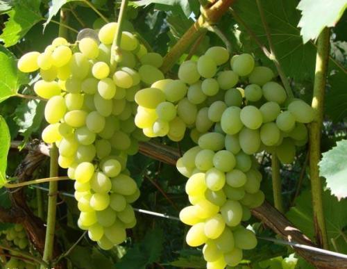 Технические сорта винограда для средней полосы. На что обратить внимание при выборе сорта для Нечерноземья 18