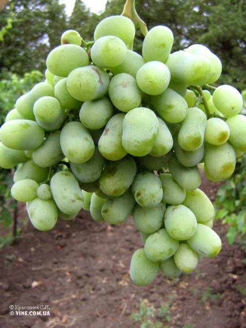 Технические сорта винограда для средней полосы. На что обратить внимание при выборе сорта для Нечерноземья 20