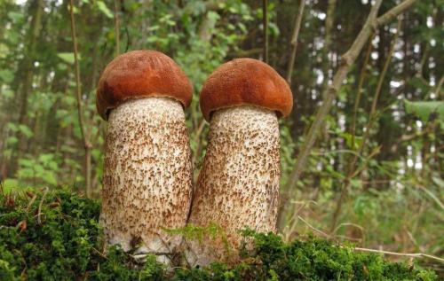 Как называется гриб с коричневой шляпкой и коричневой ножкой. Популярные съедобные трубчатые 07