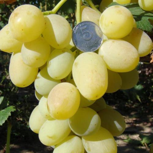 Технические сорта винограда для средней полосы. На что обратить внимание при выборе сорта для Нечерноземья 16