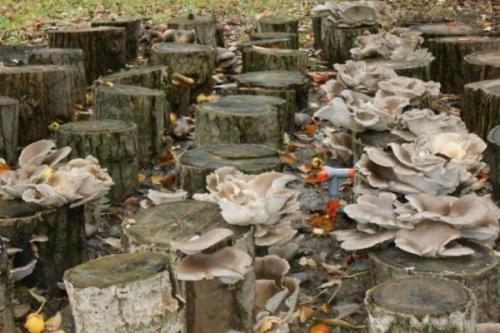 Какие грибы растут на пеньках. Особенности выращивания грибов на пнях