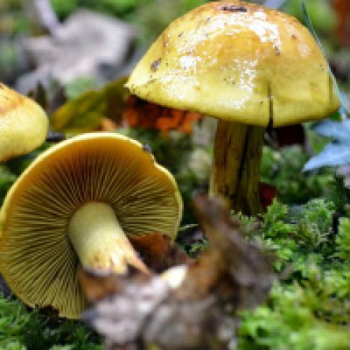 Пластинчатый гриб с коричневой шляпкой и коричневой ножкой. Пластинчатые грибы: фото съедобных с описанием