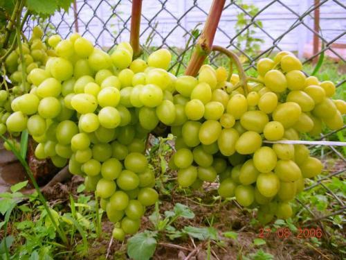 Технические сорта винограда для средней полосы. На что обратить внимание при выборе сорта для Нечерноземья 17