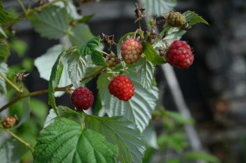 Чем удобрять малину в августе. Чем подкормить малину в августе, чтобы увеличить урожай