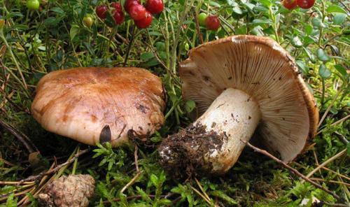Сколько варить рядовки до готовности. Как варить грибы для маринования?