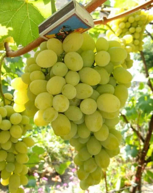 Технические сорта винограда для средней полосы. На что обратить внимание при выборе сорта для Нечерноземья 19