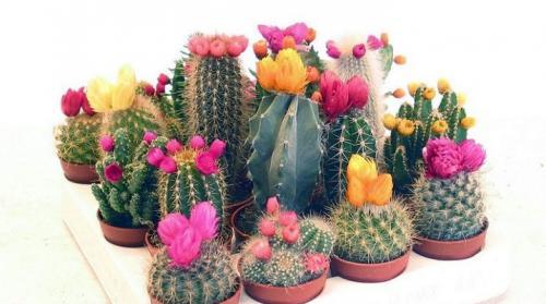 Кактус родина растения. Родина комнатного, кактуса