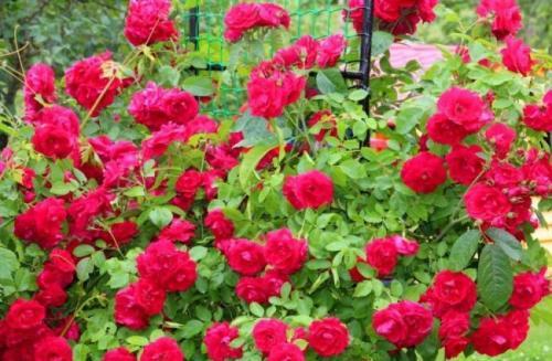 Чем отличается плетистая роза от вьющейся. Вьющаяся роза – посадка и уход
