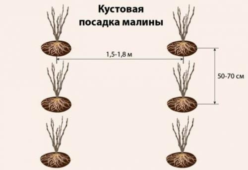 Как правильно сажать ремонтантную малину осенью. Как правильно посадить саженцы малины осенью — пошаговая инструкция