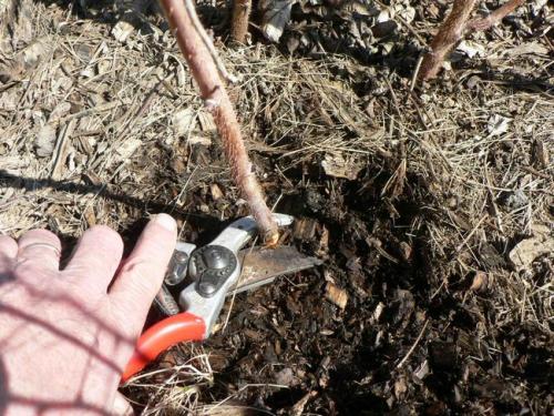 Чем удобрить малину после сбора урожая и обрезки. Обрезка малины осенью