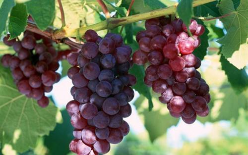 Сок из винограда лидия. Сок из винограда «Лидия»