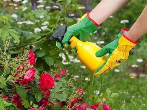 Обработка железным купоросом роз. Нюансы опрыскивания розы железным купоросом осенью! Защита растения в ваших руках