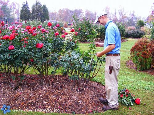 Укрытие роз на зиму. Как утеплить розы на зиму и когда