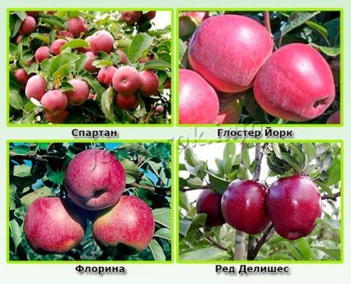 Яблоки красные осенние сорта. Зимние красные сорта яблок