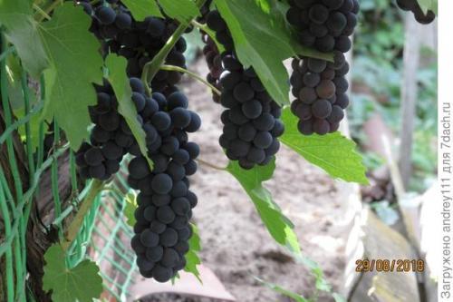Как выдавить сок из винограда. Виноградный сок без пресса, соковыжималки и соковарки