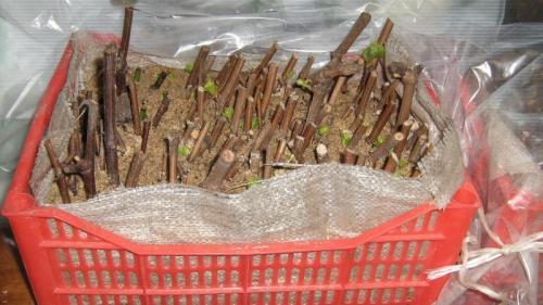 Хранение чубуков винограда до весны. Как их выбрать