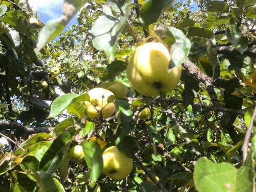 Осенние сорта яблонь для средней полосы. Самые сладкие сорта яблок для средней полосы России