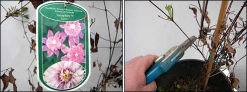 Размножение клематисов черенками осенью в домашних условиях. Как размножается клематис черенками летом 03