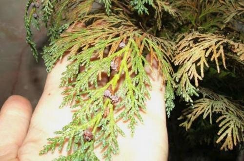 Почему туя в горшке сохнет. Сохнут листья: причины и их устранение 05