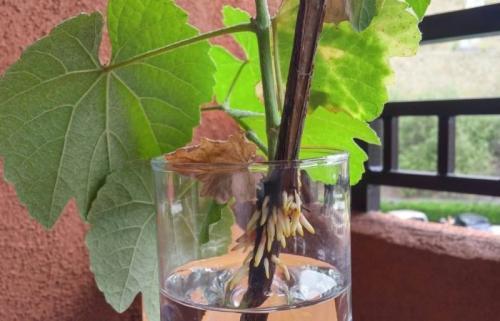 Черенки винограда, как хранить до весны. Где хранить черенки винограда до весны