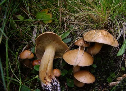 Как выглядит козленок гриб. Грибы козлята ложные: как отличить от съедобных, инструкция с фото и описанием