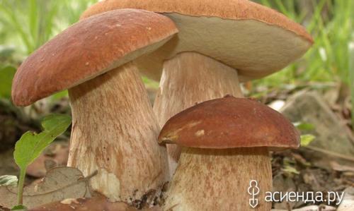 Грибы растущие осенью в сосновом лесу