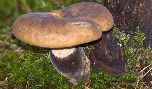 Как правильно приготовить грибы свинухи. Рецепты варки, жарки и маринования свинушек