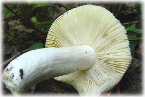 В хвойном лесу грибы. Грибы хвойных лесов