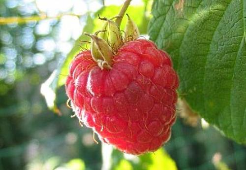 Ютуб малина ремонтантная. Выращивание малины ремонтантной – особенности растения и уход
