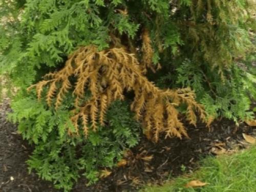Почему туя в горшке сохнет. Сохнут листья: причины и их устранение 06