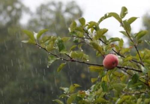 Чем обработать деревья от парши осенью. Обработка яблонь осенью от парши