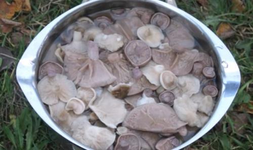 Рядовка грибы, как приготовить. Как правильно готовить рядовки: обработка, соление и маринование грибов