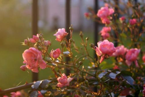 Можно ли в августе сажать розы. Когда сажать розы осенью, в каком месяце: оптимальные сроки