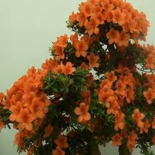 Цветок рододендрон комнатный. Самые популярные сорта комнатного рододендрона
