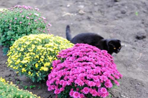 Как на зиму укрывать хризантемы. Уход за хризантемой осенью