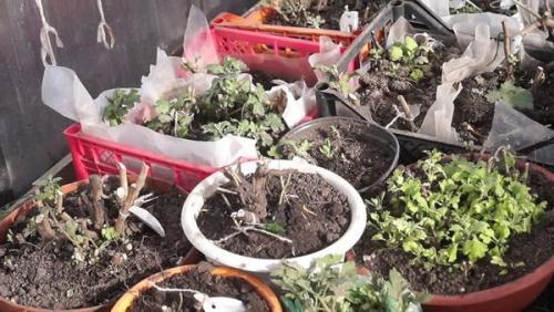 Как укрыть хризантемы на зиму в московской области. Укрытие хризантемы на зиму