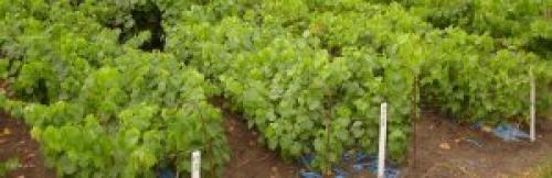 Посадка винограда в сентябре. Правильная посадка винограда саженцами осенью