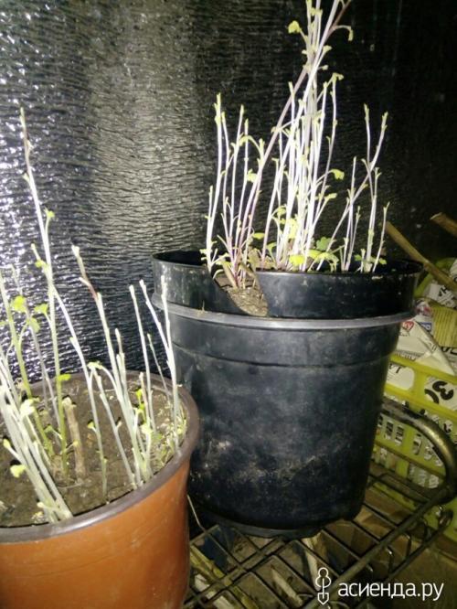 Черенкование хризантем мультифлора осенью. Хризантемы мультифлора. как сохранила, черенкование.