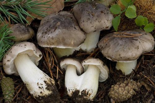 Как приготовить серые рядовки. Характеристики и описание осеннего гриба