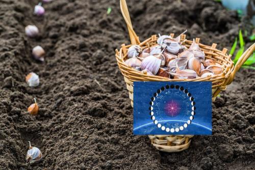 Благоприятные дни для посадки чеснока 2019 году. Когда сажать чеснок под зиму по Лунному календарю осенью-2019
